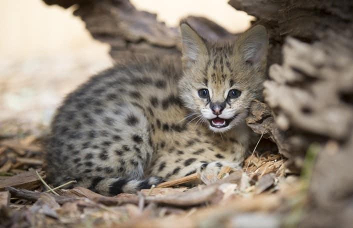 Serval kitten June 15