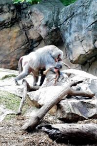 Baboon. Photo A. Van Buskirk