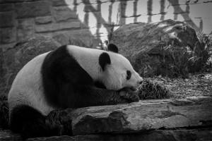 Giant Panda - Frank Cornall