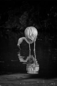 Flamingo - Frank Cornall