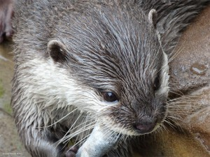 Oriental Small-clawed Otter Photo. Suzanne Roberts