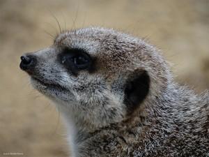 Meerkat - Photo: Suzanne Roberts