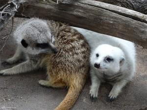 Meerkats - Photo: Suzanne Roberts