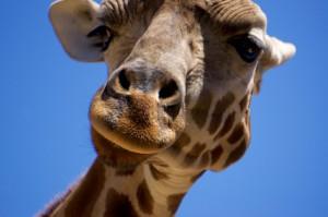 Giraffe S Williams