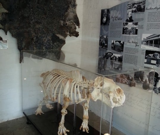 Elephant House Pygmy Hippo Skeleton