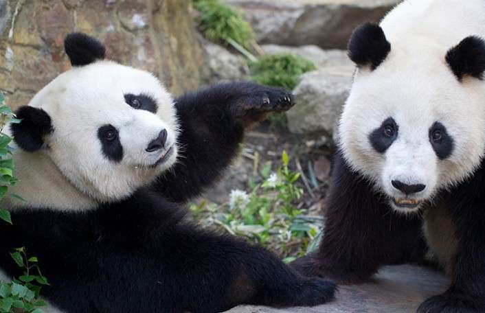 Wang Wang and Funi are the only two pandas in Australia!