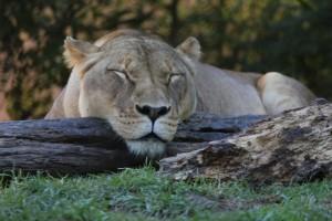 Lion. Photo: G Ryan