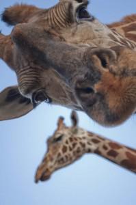 Giraffes. Photo: K Spall
