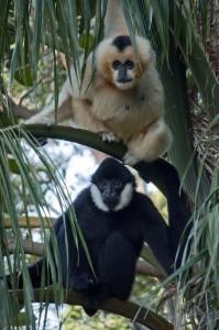 White-cheeked Gibbons. Photo: K Spall