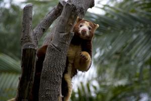Tree Kangaroo. Photo: K Jones