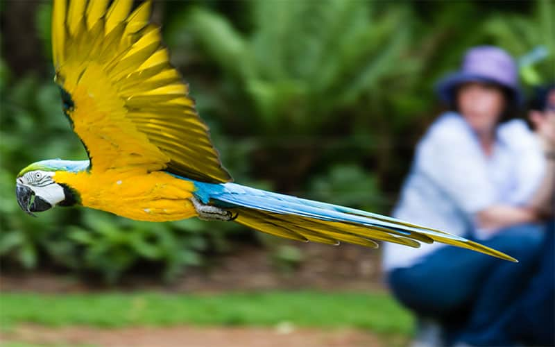 Blue and Gold Macaw - Frank Cornall