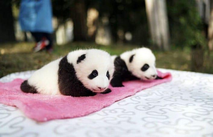 Panda Comp