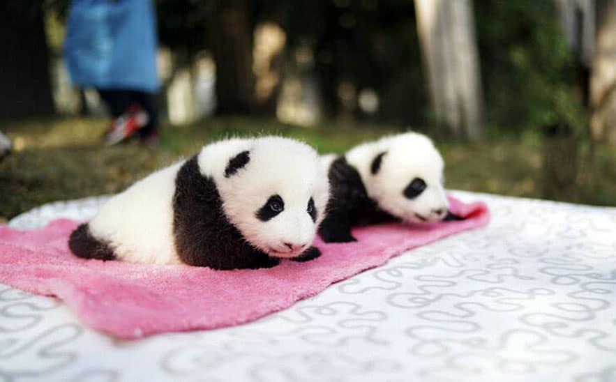 how to get a pet panda
