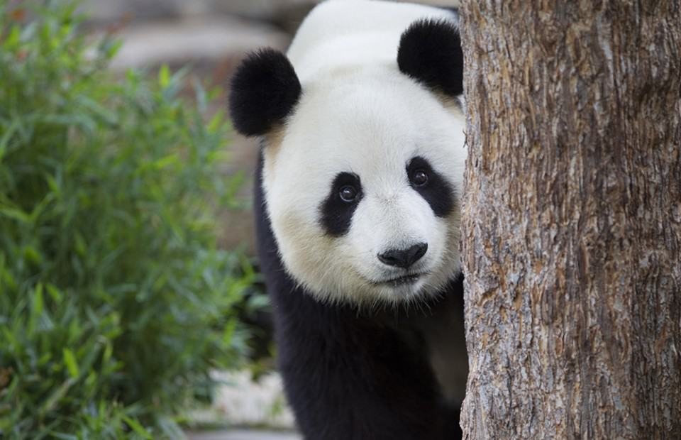 unravelling the panda pregnancy mystery