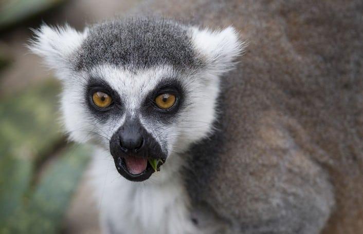 Lemur OMG