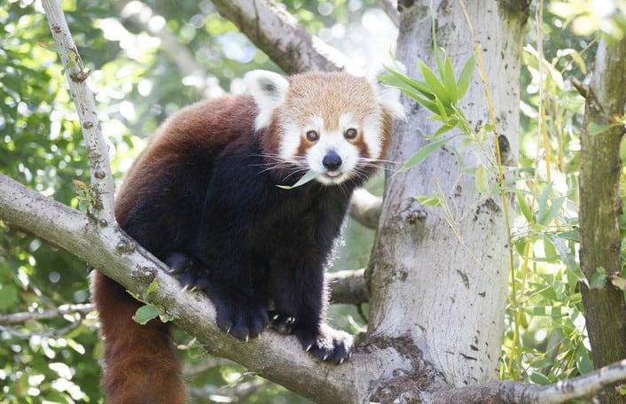 Red Panda Pemba