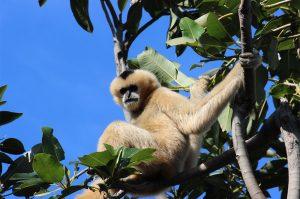 Gibbon - K Maunder