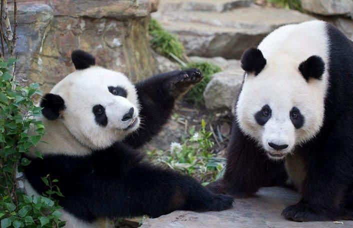 wang-wang-and-fu-ni-giant-pandas-at-adelaide-zoo-photo-credit-zoos-sa