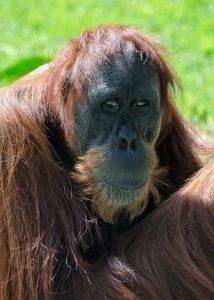 Orangutan - J Rhind