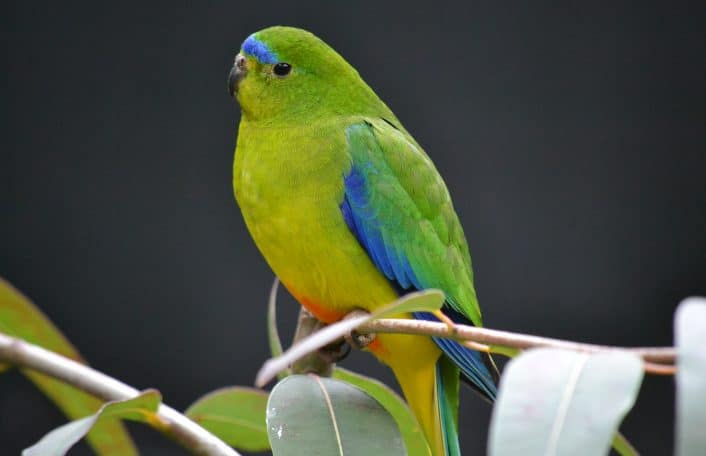 Orang-bellied Parrot Image credit Emma Macchia
