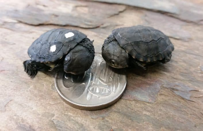 Western Swamp Tortoise breeding success