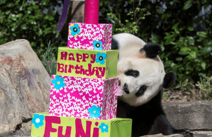 Giant Panda Fu Ni enjoys her paper mache cake!