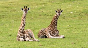 Monarto Zoo's giraffe calves, Mabuti and Thando.
