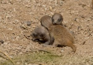 Meerkat pups huddle together.