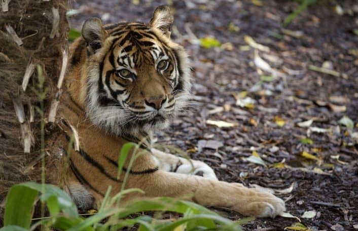 Sumatran Tiger Adelaide Zoo
