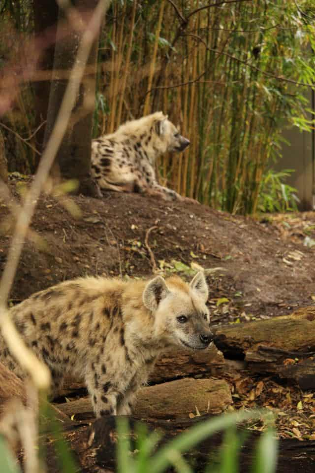Adelaide Zoo Spotted Hyenas