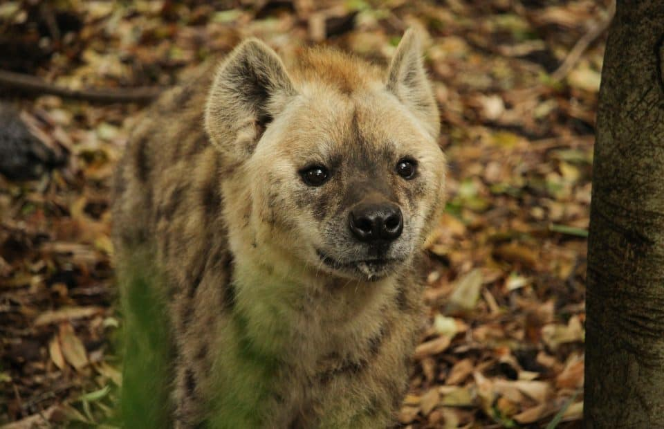 Adelaide Zoo Spotted Hyenas arrival