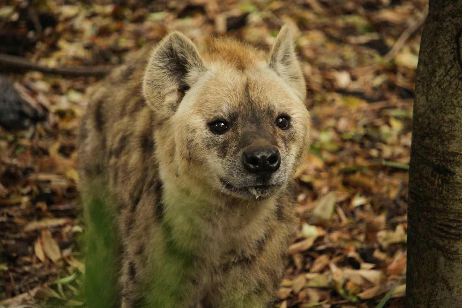 Image of: Lion Two Spotted Hyenas Join Our Wild Family Adelaide Zoo Two Spotted Hyenas Join Adelaide Zoos Wild Family