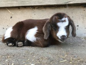 Adelaide Zoo goat kids