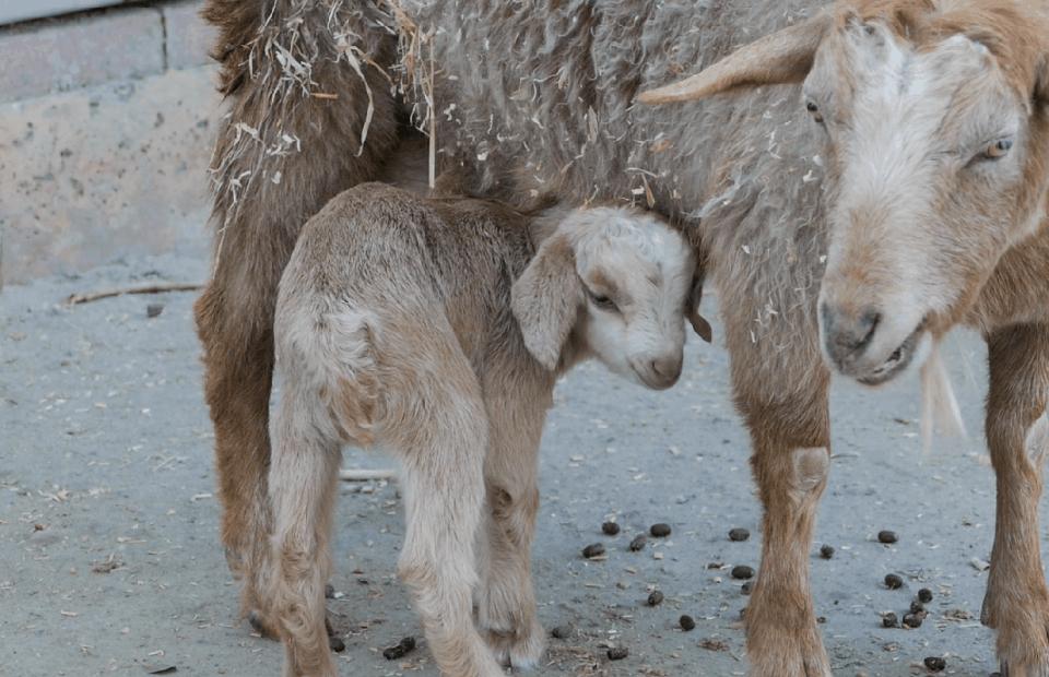 Goat kids Adelaide Zoo