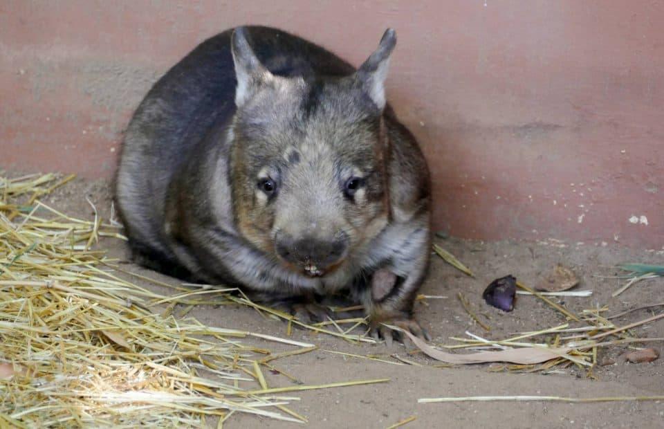 Wombat stopover Adelaide Zoo