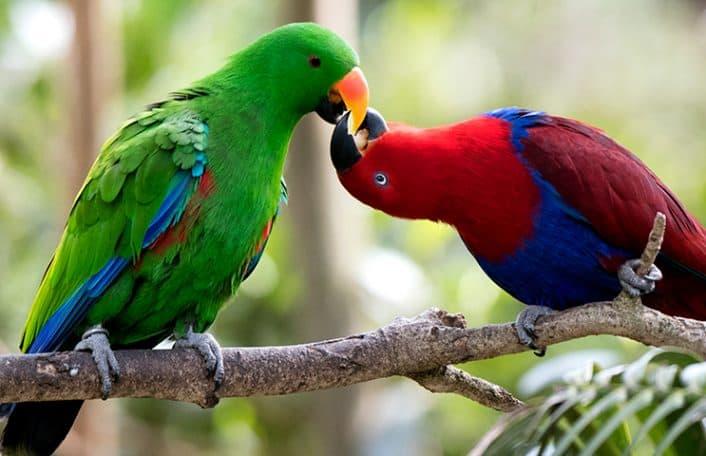 Valentine's Day Eclectus Parrots