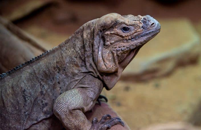 Rhino iguanas Adelaide Zoo