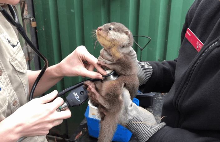 Adelaide Zoo otter health check