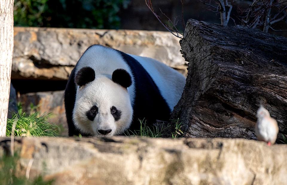 Giant Panda Adelaide Zoo
