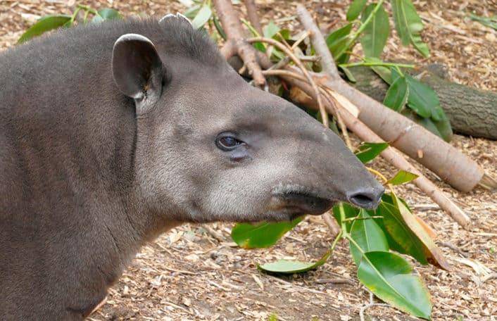 Arturo male Brazilian Tapir Adelaide Zoo
