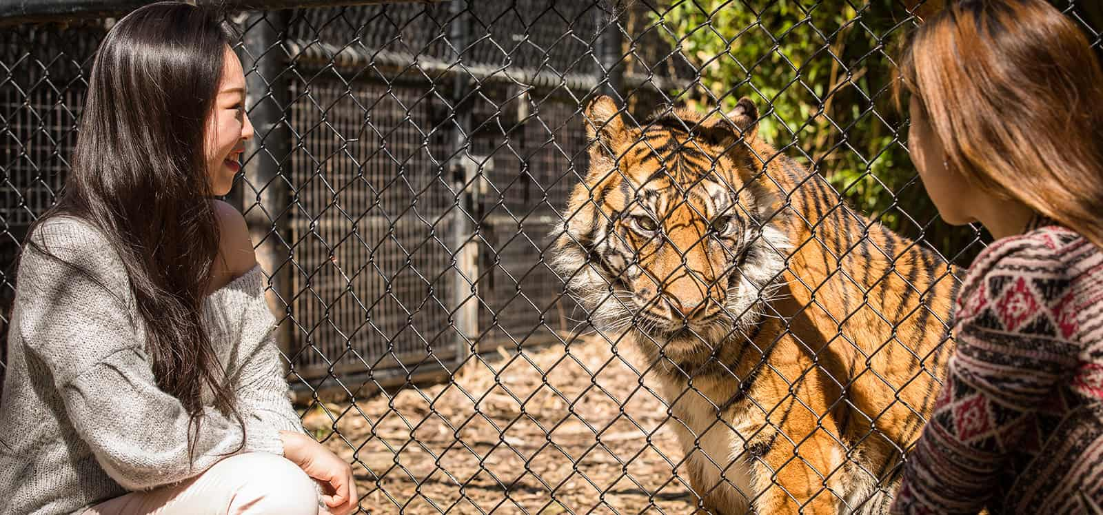 Women staring at Sumatran Tiger during Big Cat Interactive experience at Adelaide Zoo