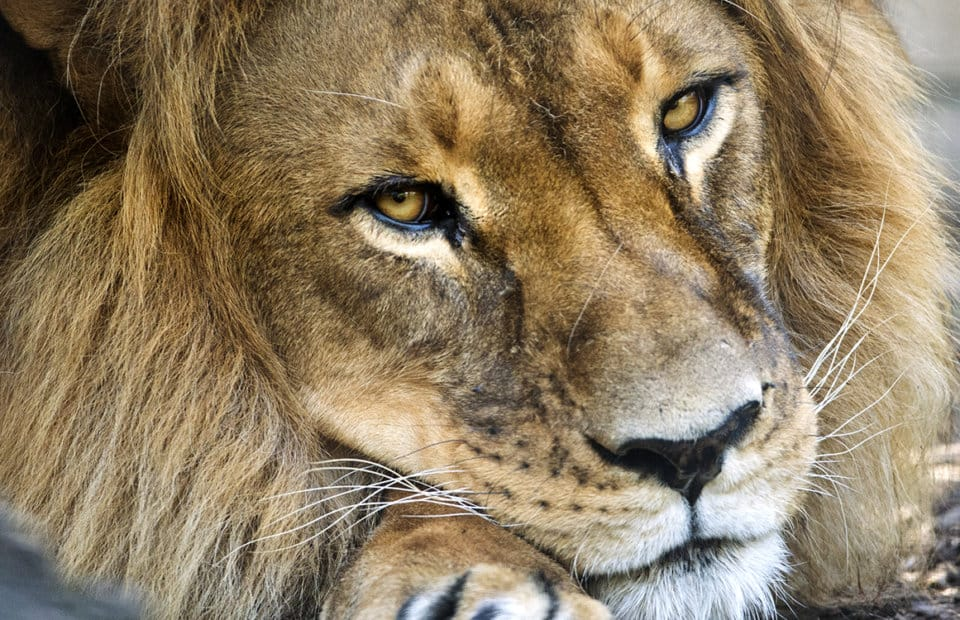 Male African Lion at Adelaide Zoo