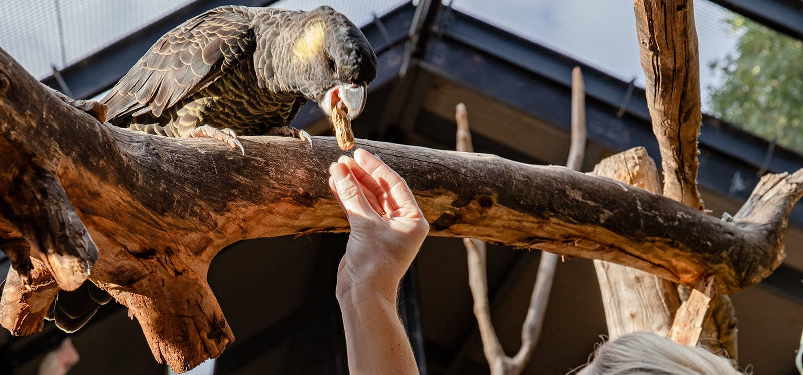 Cockatoo being fed a peanut at Adelaide Zoo