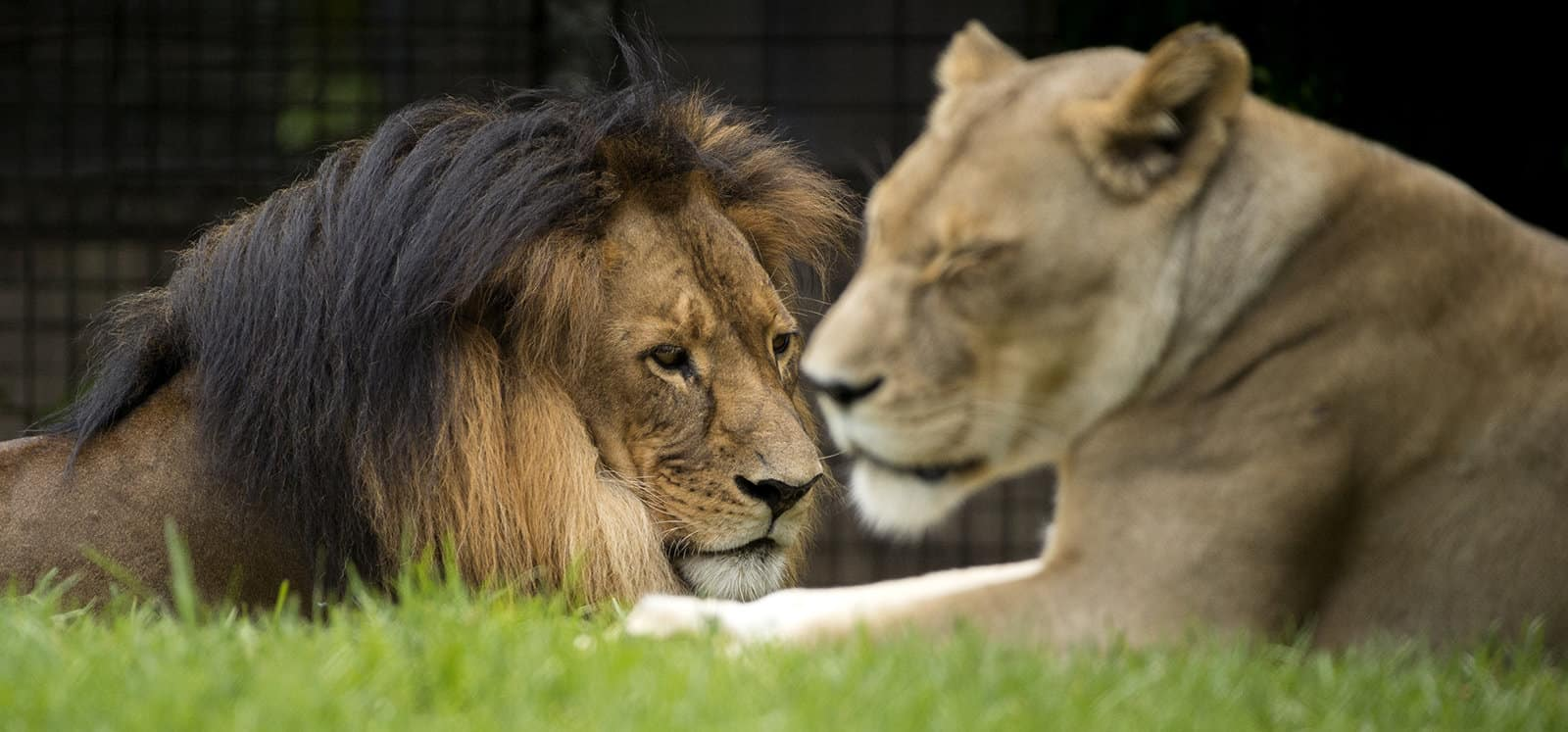 Male and female African Lions at Adelaide Zoo