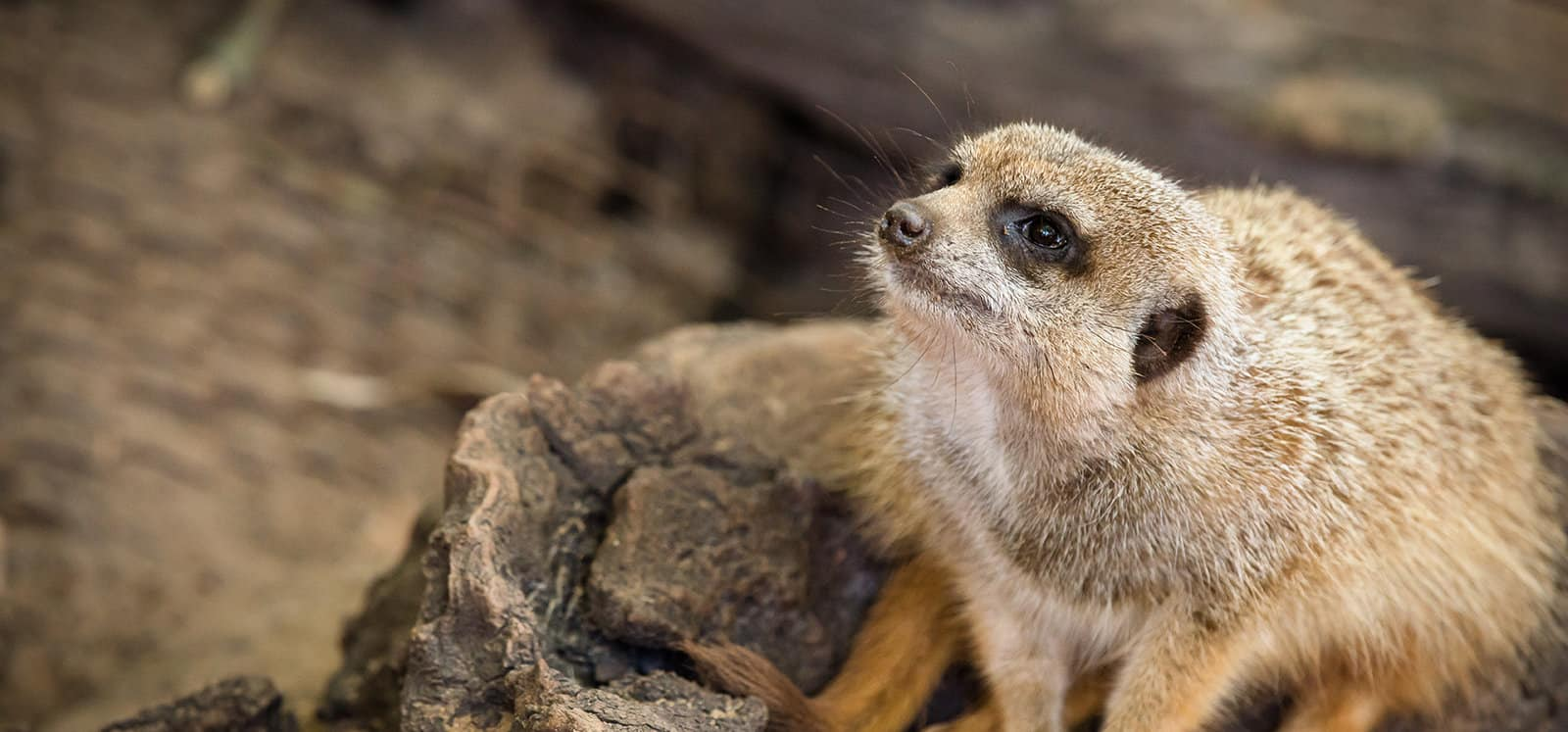 Meerkat encounter at Adelaide Zoo