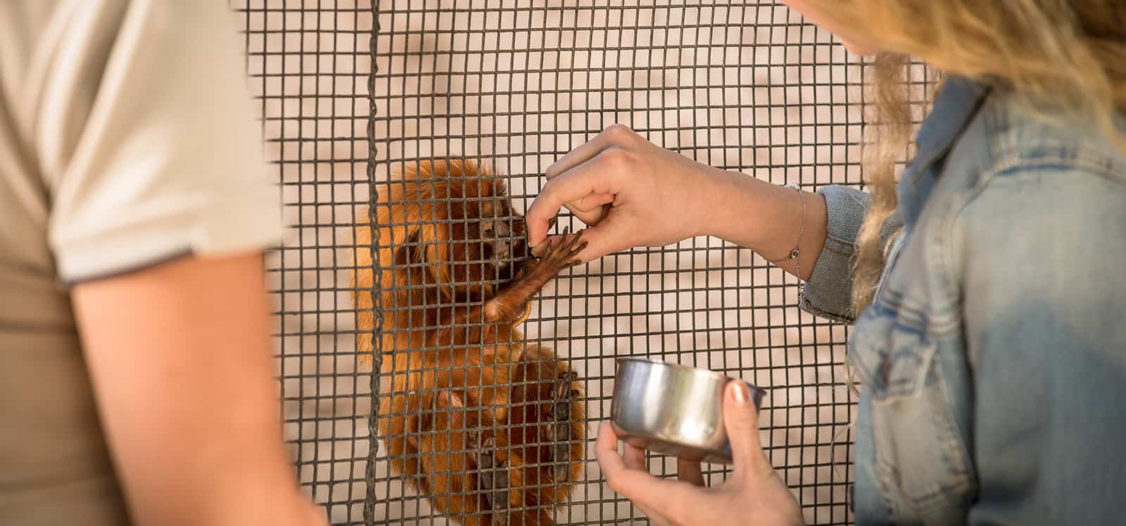 Golden Lion-tamarins being fed during Meet The Primates animal experience at Adelaide Zoo