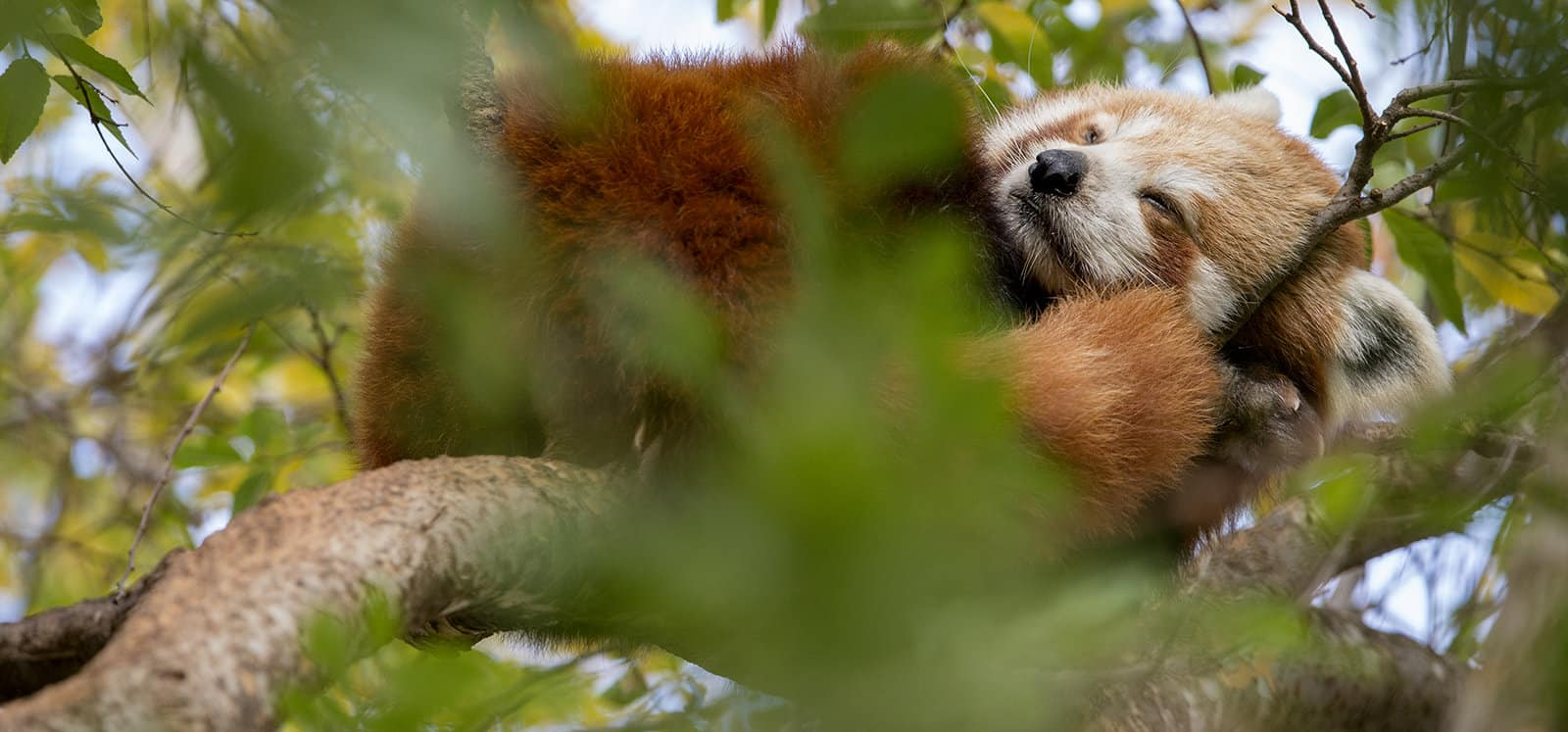 Red Panda sleeping in tree at Adelaide Zoo