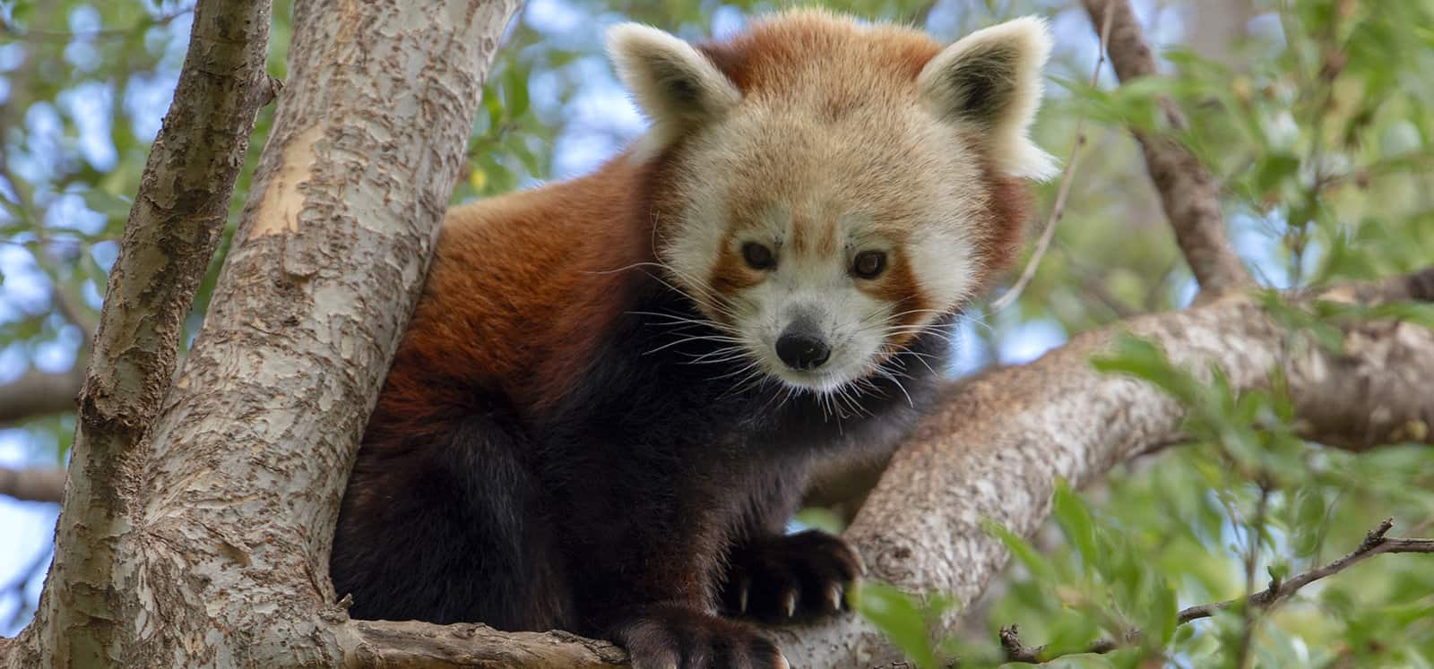 Red Panda perched in tree at Adelaide Zoo