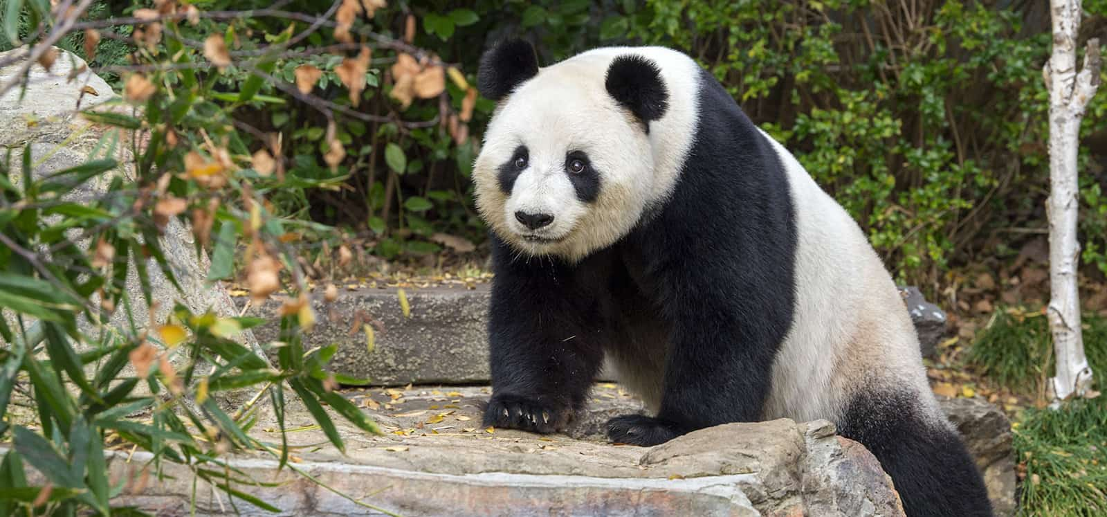 Giant Panda climbing a rock at Adelaide Zoo