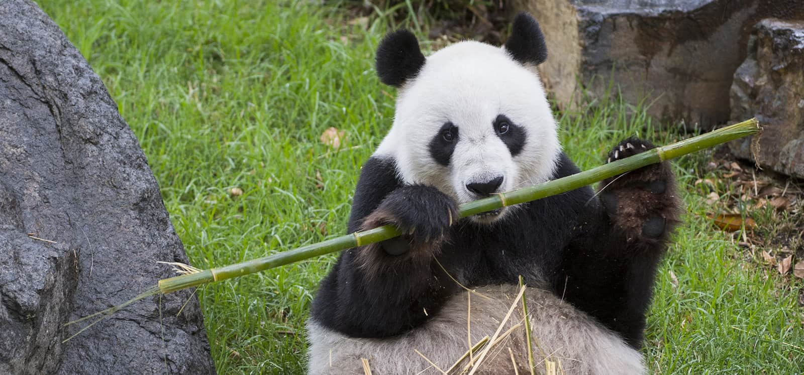 Giant Panda chewing on bamboo shoot at Adelaide Zoo